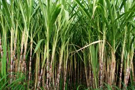 Haryana CM announces hike Rs 10 per quintal State Advisory Price(SAP) OF Sugarcane