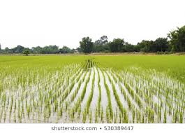Punjab govt to provide 50 percent subsidy on paddy transplanters