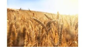 DC DIRECTS OFFICIALS TO CONDUCT FIELD VISITS TO ASSESS THE LOSS TO WHEAT CROP