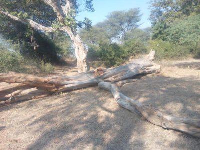 खेड़ी गांव में आस्था से जुड़े कदम्ब काटने पर ग्रामीणों ने की शिकायत
