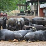 Right management of livestock in winter for good production and health is must