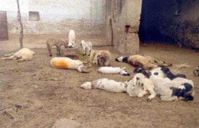 भेड़-बकरियों के बाड़े पर अज्ञात जानवर ने किया हमला, 34 की मौत, 11 घायल
