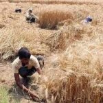 Agriculture Deptt issues directions regarding Harvesting