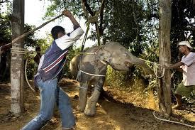 Cruel training process of young elephants.