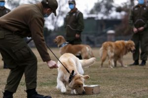 Chilean dogs sniff out coronavirus in early stages
